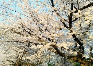 関川 桜 ブログ H26 4.jpg